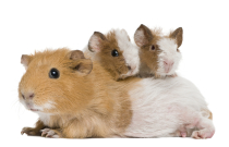 AgriCompact Technologies GmbH, guinea pigs, pets, hay, forage, www.haydryers.com